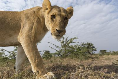 A Portrait of a Lioness, Panthera Leo, at Masai Mara National Reserve