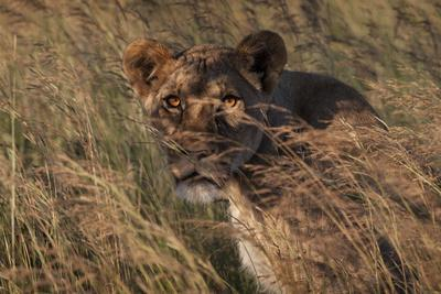 An Adult Lioness Peering Through the Tall Grass