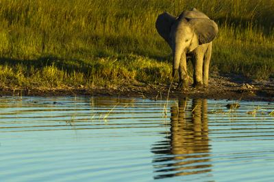 An African Elephant, Loxodonta Africana, Calf Drinks from a Spillway as the Sun Sets