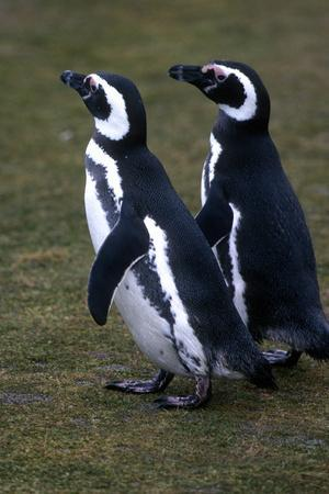 Two Magellanic Penguins, Spheniscus Magellanicus