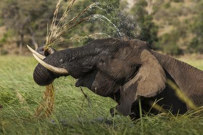An Male Elephant, Loxodonta Africana, Shaking the Dirt Out of Water Grass
