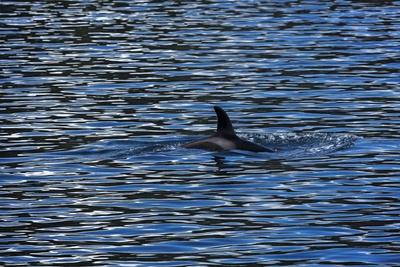 Killer Whale or Orca, Orcinus Orca, in Gwaii Haanas National Park