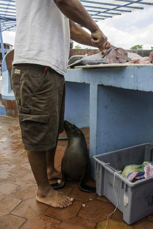 A Sea Lions Begs from a Fisherman in an Open Air Fish Market