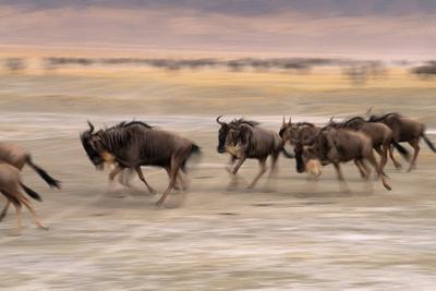 A Herd of Wildebeest Stampede across the Savanna