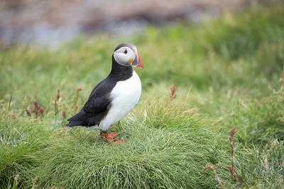 An Atlantic Puffin on Vigur Island in Isafjordur Bay
