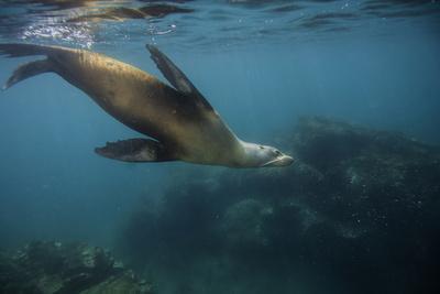 A Galapagos Sea Lion Swimming