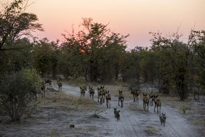 A Pack of African Wild Dogs, Lycaon Pictus, Walk Along the Road with Pups Chasing Behind