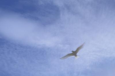 An Arctic Tern in Flight Above Flatey Island, Breidafjord