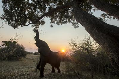 An African Elephant Pulling a Branch of Tree to Graze under the Setting Sun