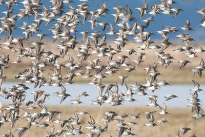 A Large Flock of Dunlin Birds, Calidris Alpina, in Flight