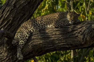 A Leopard, Panthera Pardus, Sleeping on a Tree Branch