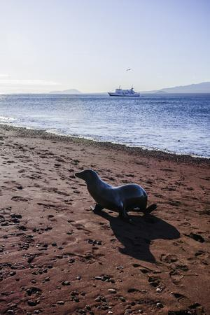 A Galapagos Sea Lion on the Red Sand Beach of Rabida Island
