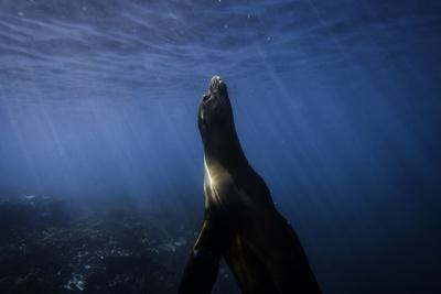 A Galapagos Sea Lion Pup Playing Underwater