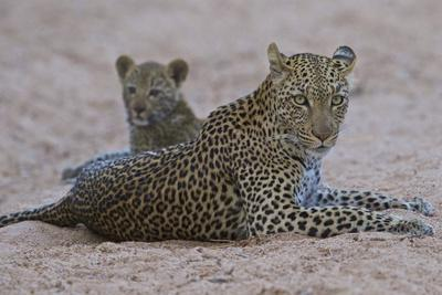 A Female Leopard Rests with Her Cub in South Africa's Timbavati Game Reserve