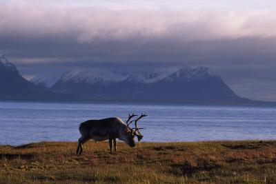 Svalbard Reindeer Grazing Near the Sea
