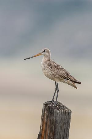 Marbled Godwit, Limosa Fedoa, Perching on a Wooden Post