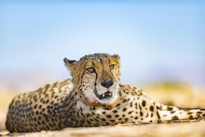 A Cheetah, Acinonyx Jubatus, on the Desert Plains in Southern Namibia