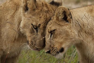 A Pair of Lion Cubs, Panthera Leo, Greet Each Other by Rubbing Heads