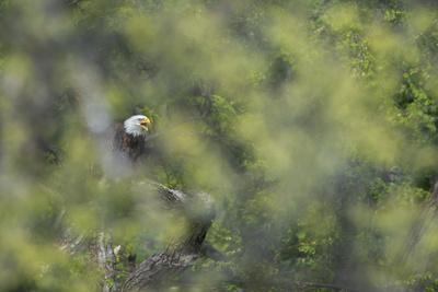 A Bald Eagle, Haliaeetus Leucocephalus, Perching in a Tree