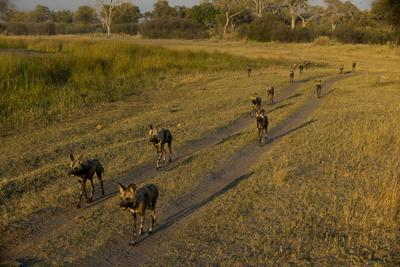 A Pack of African Wild Dogs, Lycaon Pictus, Walking on a Dirt Road