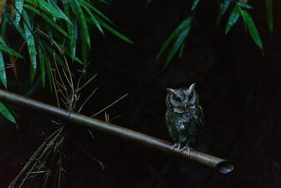 A Collared Scops Owl, Otus Lettia, Perching in a Bamboo Tree