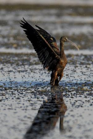 A Glossy Ibis, Plegadis Falcinellus, with Spread Wings