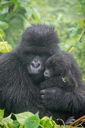Portrait of Mountain Gorilla, Gorilla Beringei Beringei, with its Young