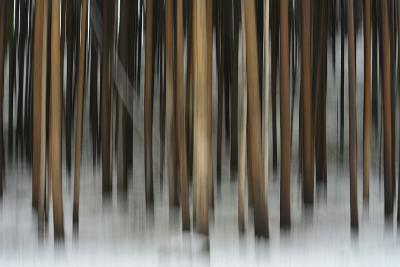 A Pine Forest in Yellowstone National Park