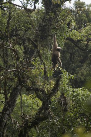 An Eastern Hoolock Gibbon in Gaoligong Mountains National Nature Reserve, China