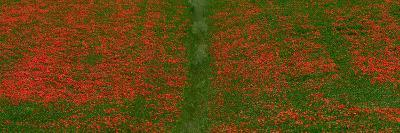 Field of Poppies in Tuscany