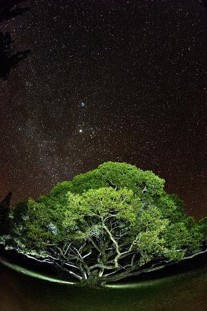 The Starry Sky of the Milky Way Is Visible over a Fig Tree on the Island of Molokai
