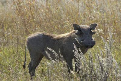Warthog, Upper Vumbura Plains, Botswana