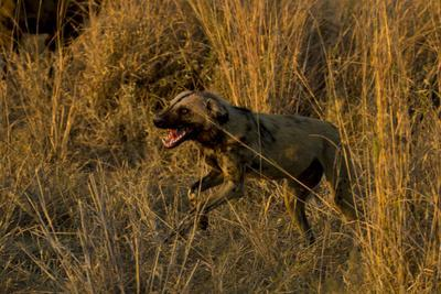 An African Wild Dog, Lycaon Pictus, Running and Baring its Teeth