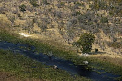Two African Elephants, Loxodonta Africana, Walking in the Wetlands