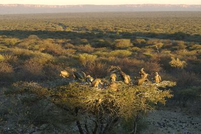 Large Group of Vultures Perched in a Tree Overlooking the Waterberg Plateau, Namibia