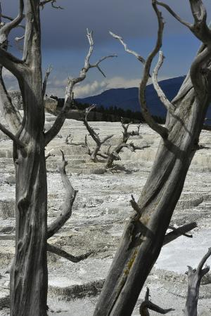 Dead Trees at Mammoth Hot Springs