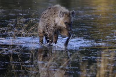 Spotted Hyena Crossing Water, Upper Vumbura Plains, Botswana
