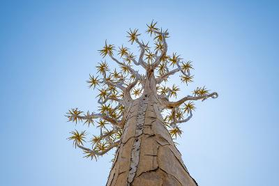 Yellow Flowers on Quiver Tree, Aloe Dichotoma, at Quiver Tree Forest