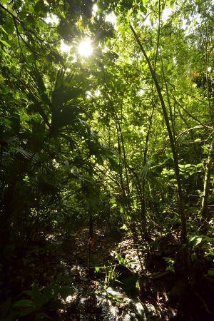 The Sun Shines Through the Dense Tropical Jungle on Barro Colorado Island, Panama