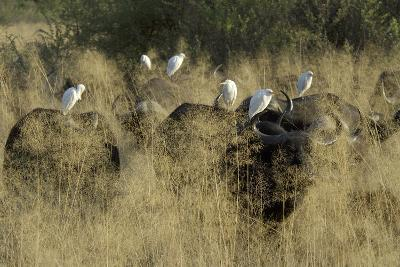 Herd of Water Buffalo, with Cattle Egret Perched on their Backs, Botswana