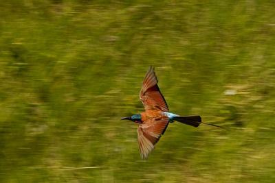 A Southern Carmine Bee-Eater, Merops Nubicoides, in Flight