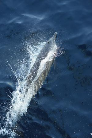 A Dolphin Swimming in the Clear Blue Waters of the Pacific Ocean