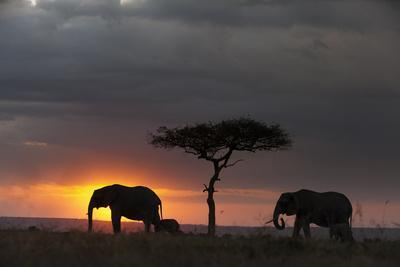 Silhouette of African Elephants, Loxodonta Africana, Walking with their Calf at Sunset