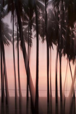 The Pink Light of Sunset Illuminate Palms in the Kapuaiwa Coconut Grove, Molokai, Hawaii