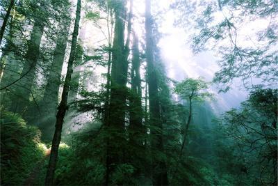 Magical Redwood Forest Light, Beautiful California Coast