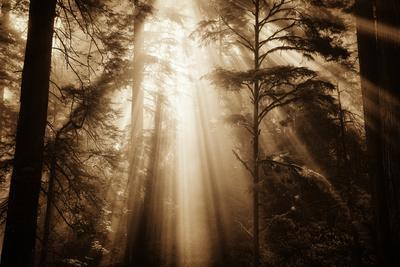 Magic Light in the Forest, California Redwoods, Coastal Trees