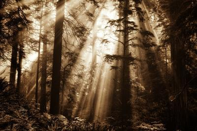 Light Within The Darkness, California Redwoods, Coastal Trees