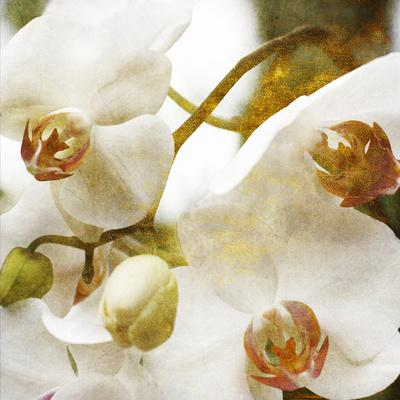 Dust Orchid