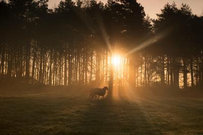 Golden Morning Light Through Trees in the Peak District, Derbyshire England Uk