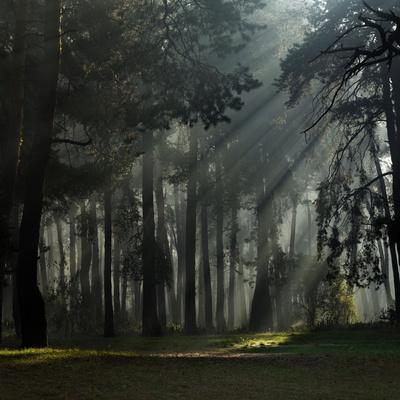 Misty Autumn Forest with Pine Trees